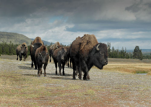 buffalo group