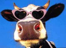 funny-amazing-cow-7